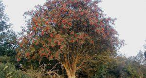 Красная рябина кустарник фото