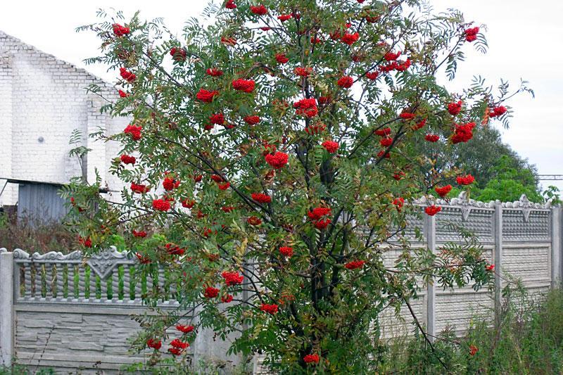 Рябина красная кустарник фото