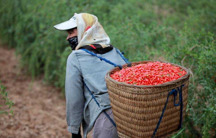 Как выбрать хорошие ягоды годжи